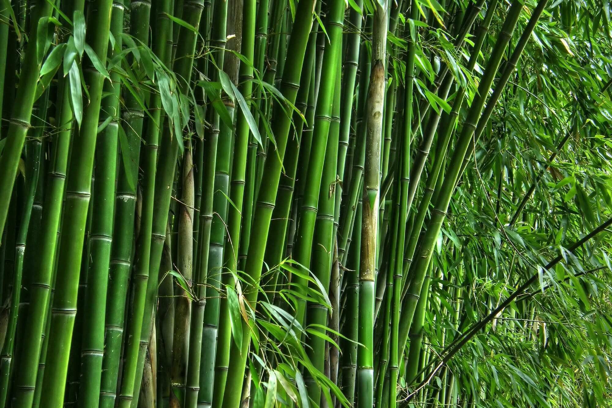 Bamboo Really The Sustainable Timber Choice Abodo